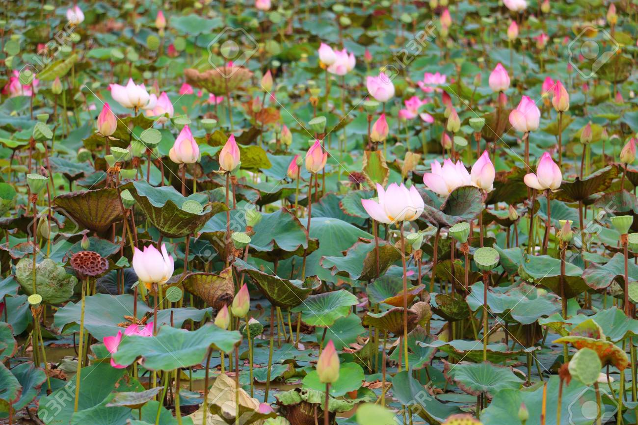 Lotus Flowers Plantationcambodia Stock Photo Picture And Royalty