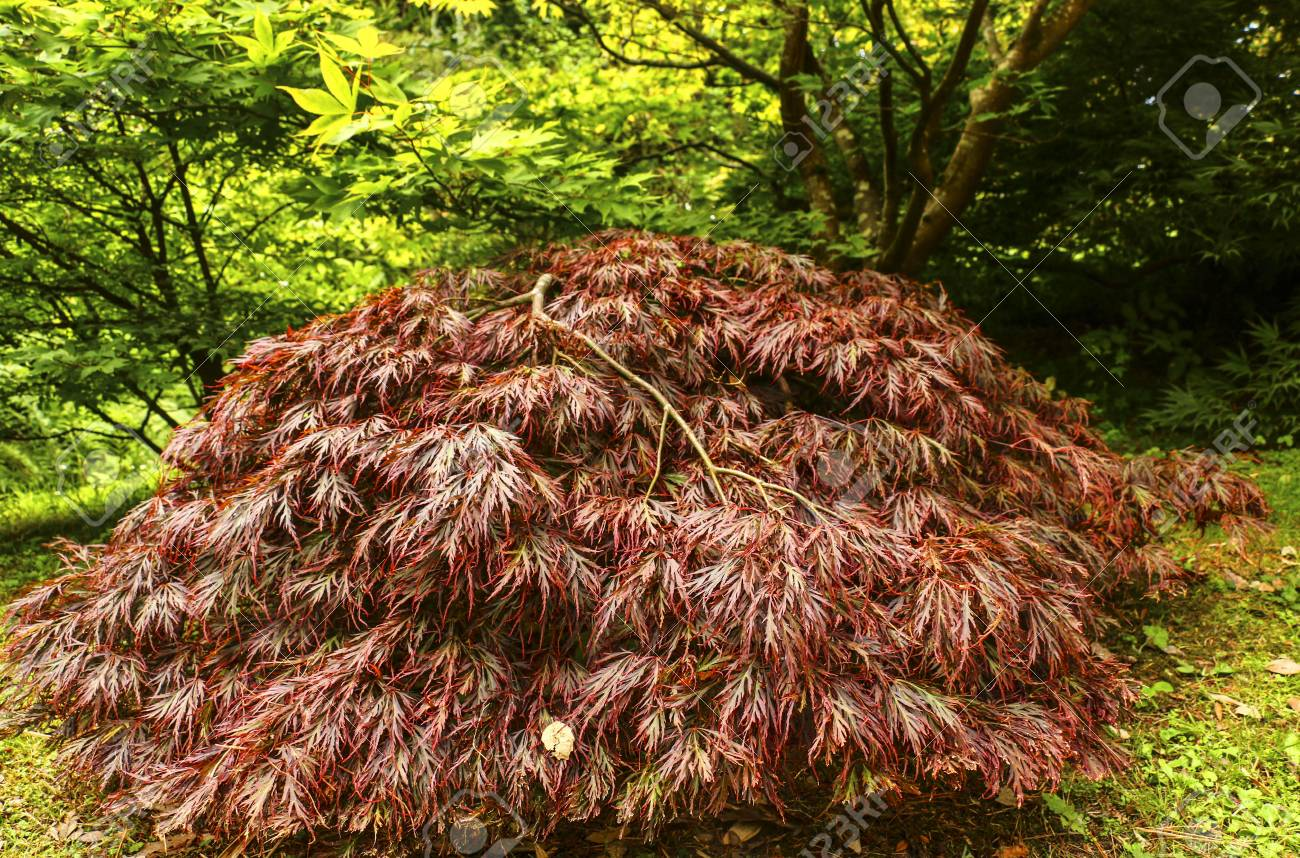 Bright Japanese Maple (Acer Japonicum) In The Autumn Garden Stock ...