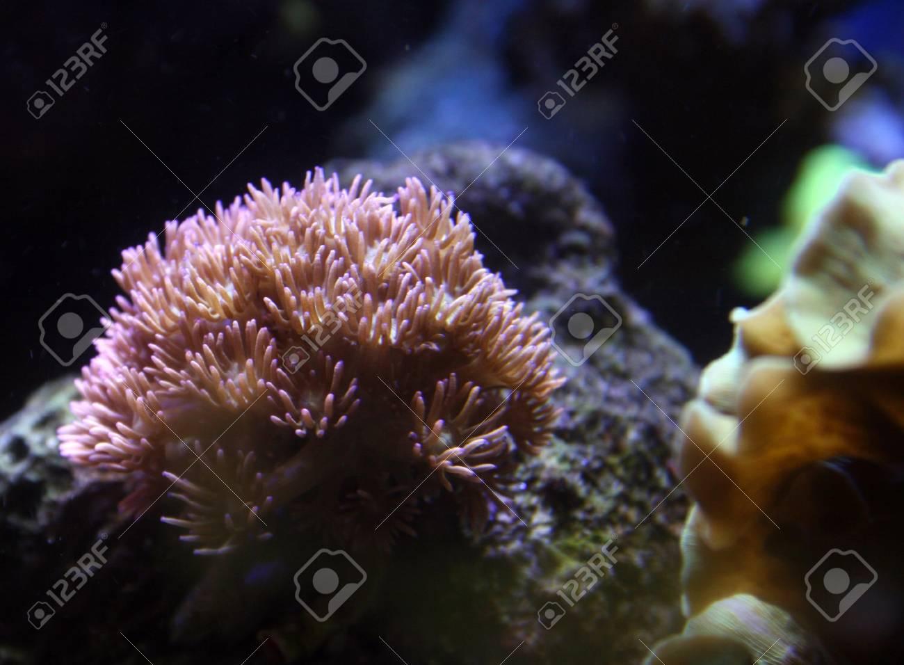 Goniopora coral in aquarium Stock Photo - 17498335