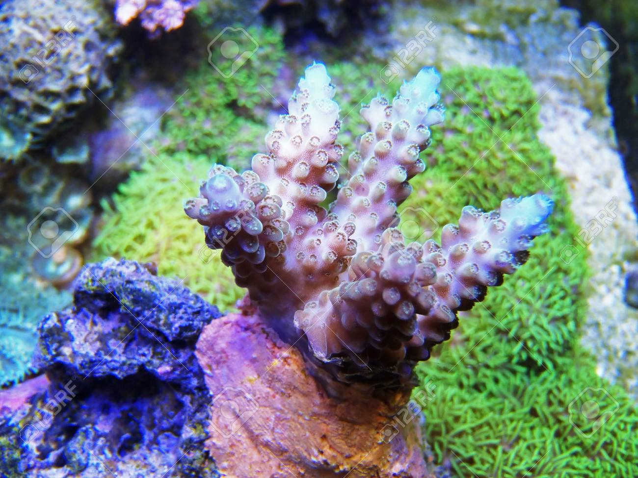 coral in aquarium Stock Photo - 24980568