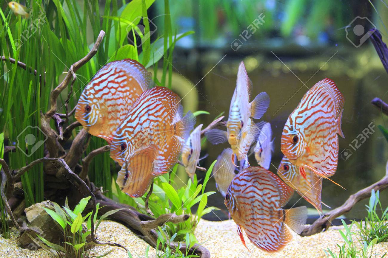 pterophyllum scalare and symphysodon discus in a tank with aquatic plants Stock Photo - 26462096