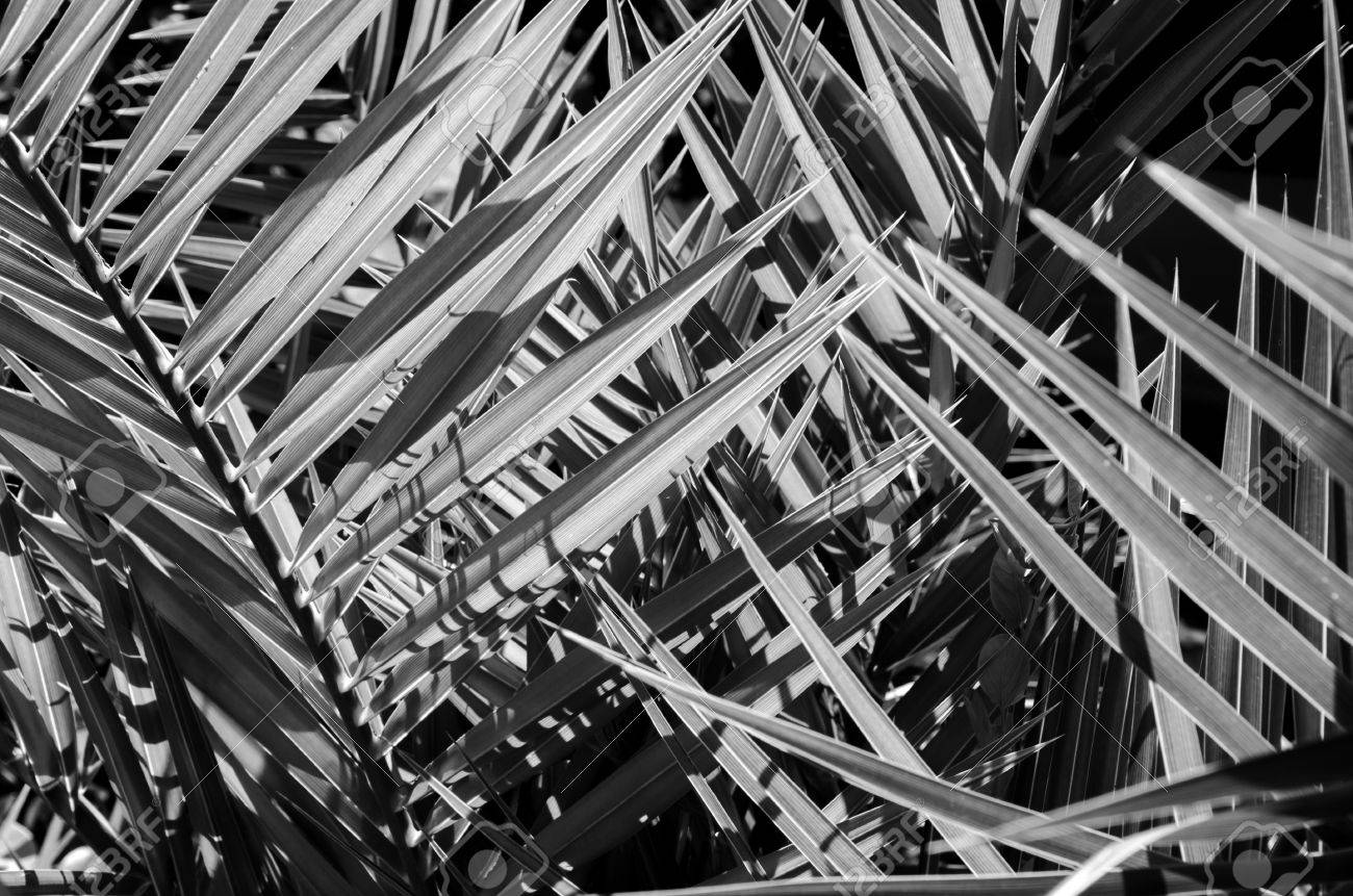 Palm Trees Black And White Tree in Black And White