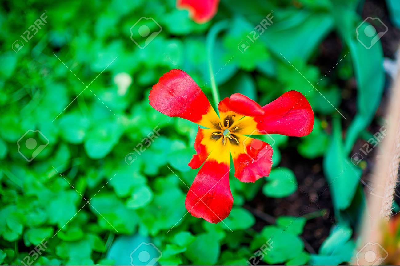 Paeonia Caucasica Plant Red And Yellow Peony Flower Stock Photo