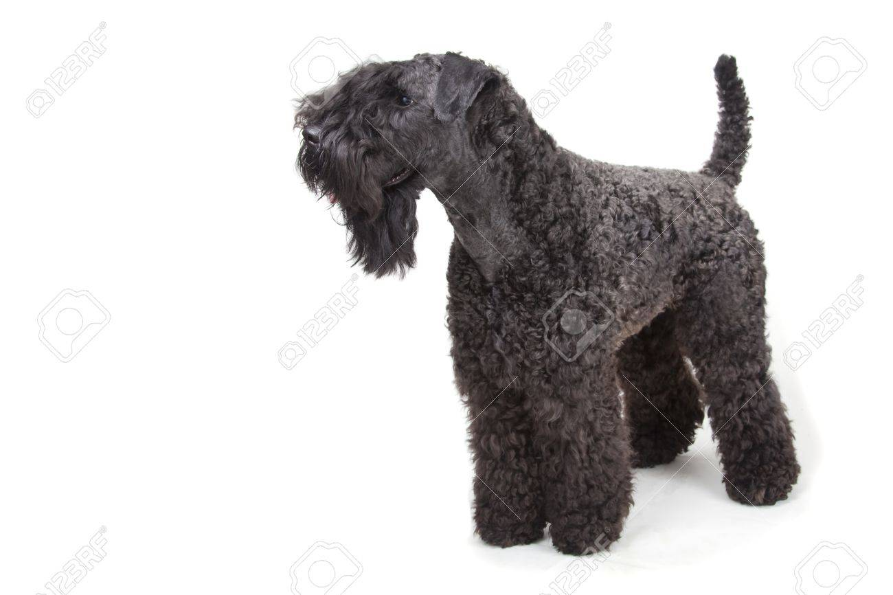 Kerry Blue terrier on white background Stock Photo - 11396967