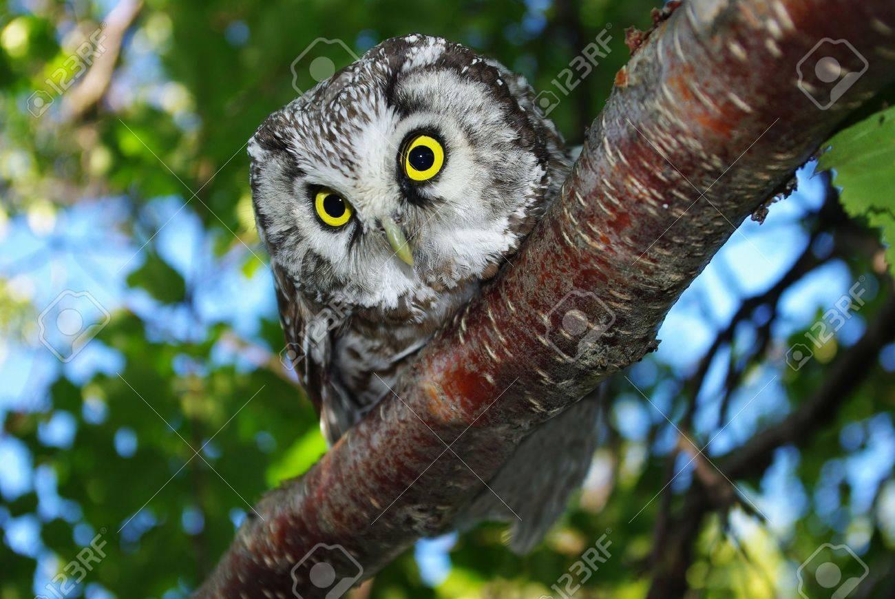 Owl (Aegolius funereus) on a tree branch in different poses - 5838924