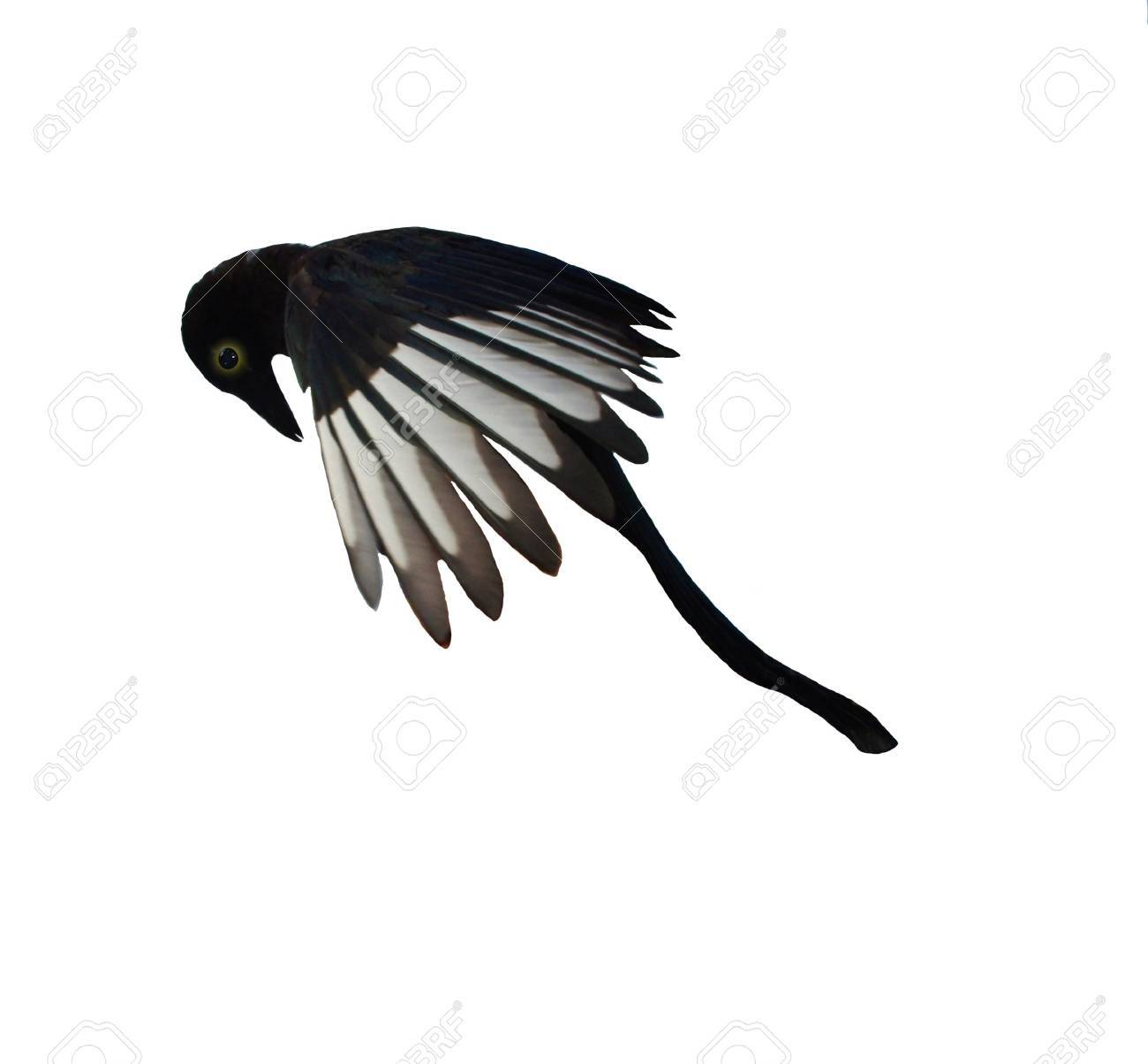 Magpie On A White Background Having The Big Similarity To A
