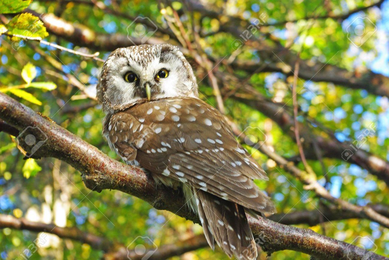 Owl (Aegolius funereus) on a tree branch in different poses - 5979940