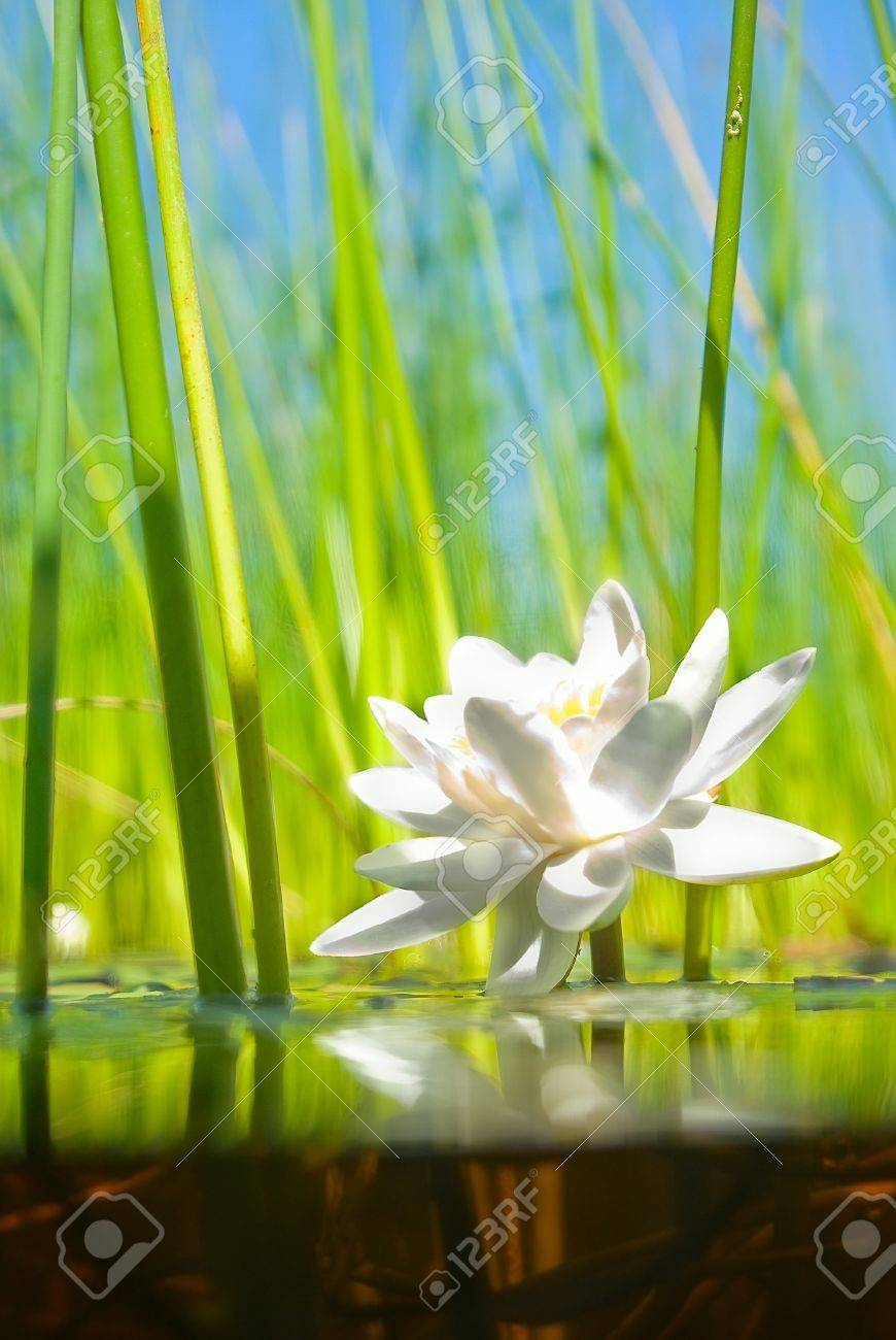 how the water-lily grows , a picture of a surface and underwater part - 7331842