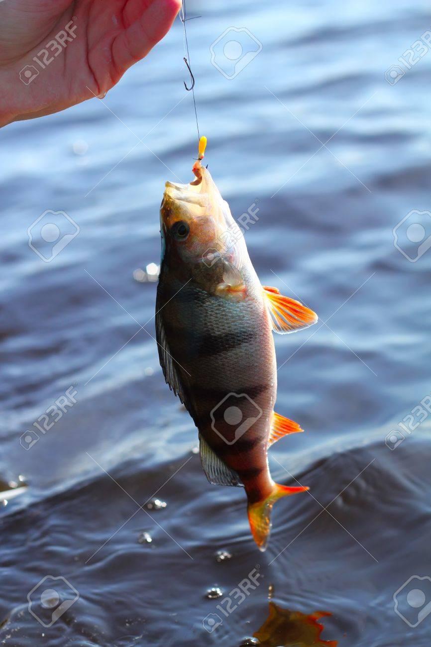 now caught perch Stock Photo - 9625128