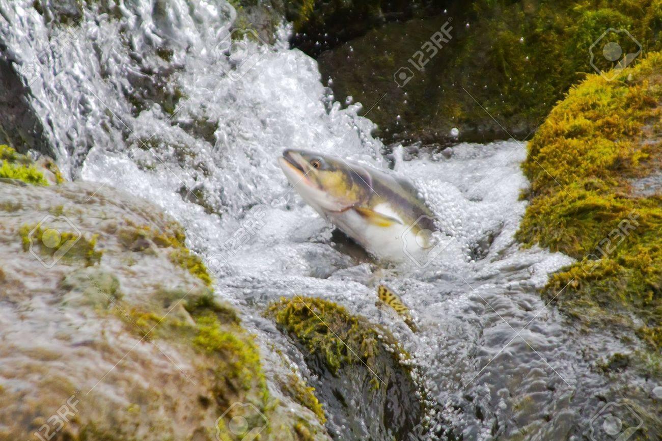 The humpback salmon rises upwards on falls - 12671732