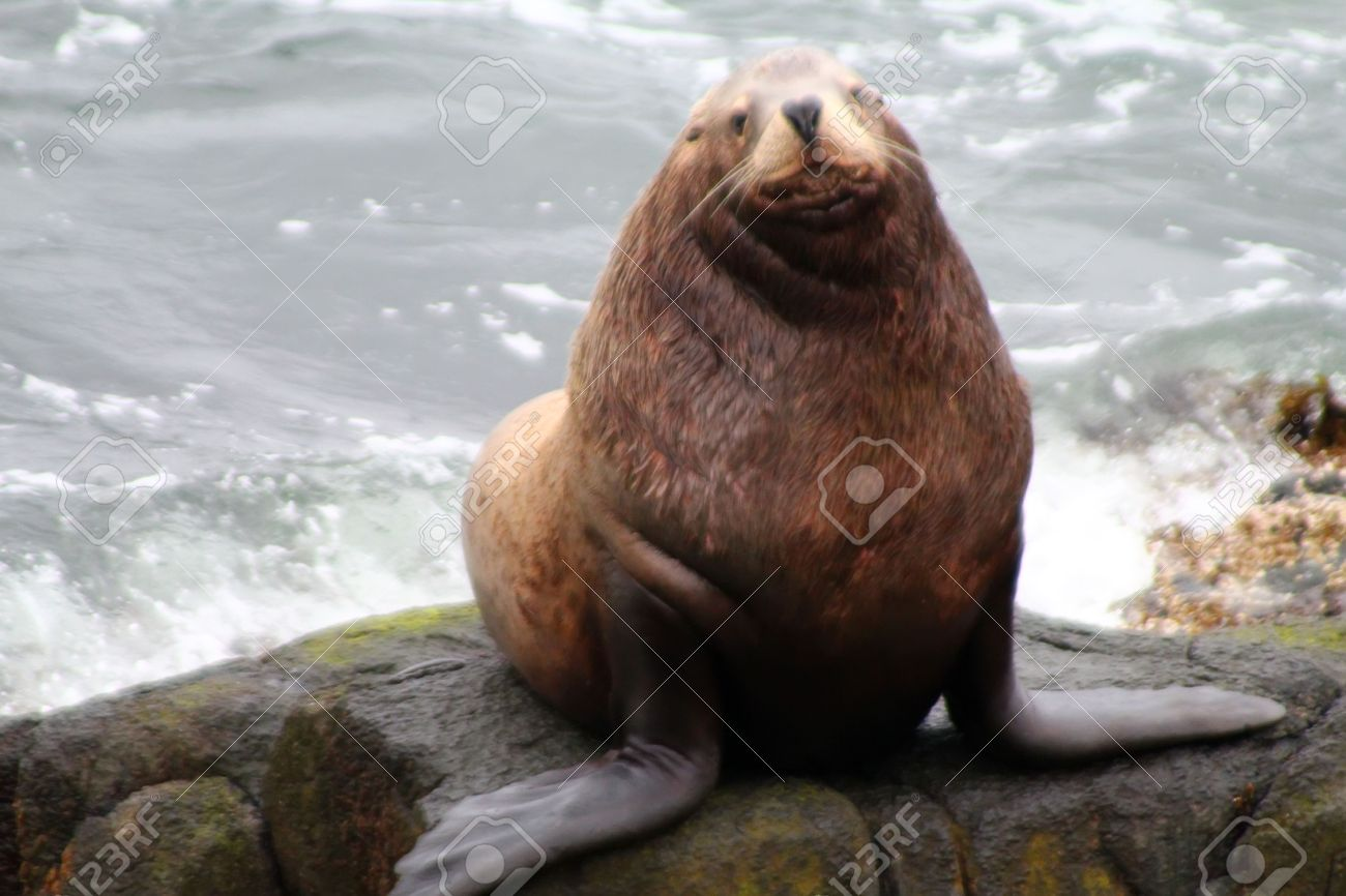 http://previews.123rf.com/images/max5128/max51281203/max5128120300008/12671901-Male-of-the-Northern-sea-lion-Steller-sea-lion-Eumetopias-jubatus-Commander-Islands-Stock-Photo.jpg