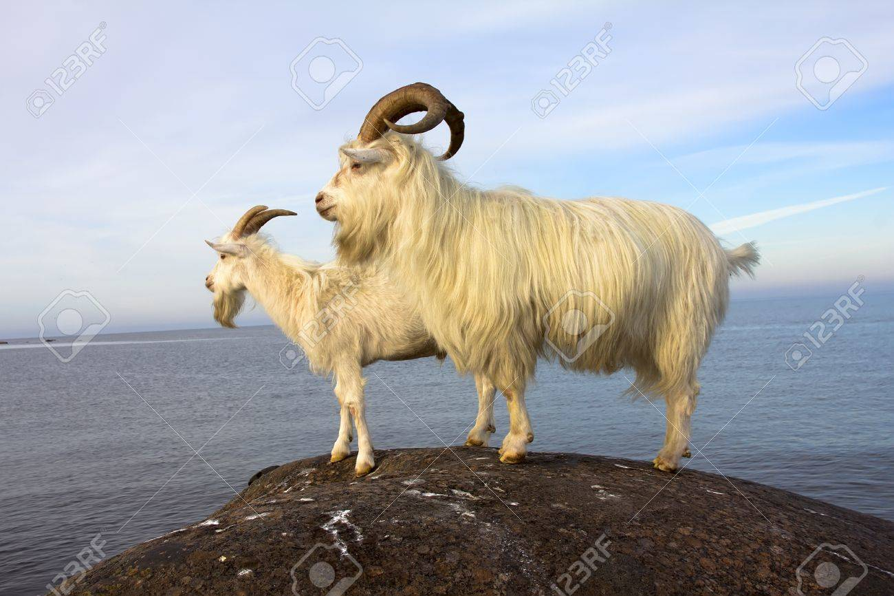 farm goats on the seashore in the summer afternoon - 14249755
