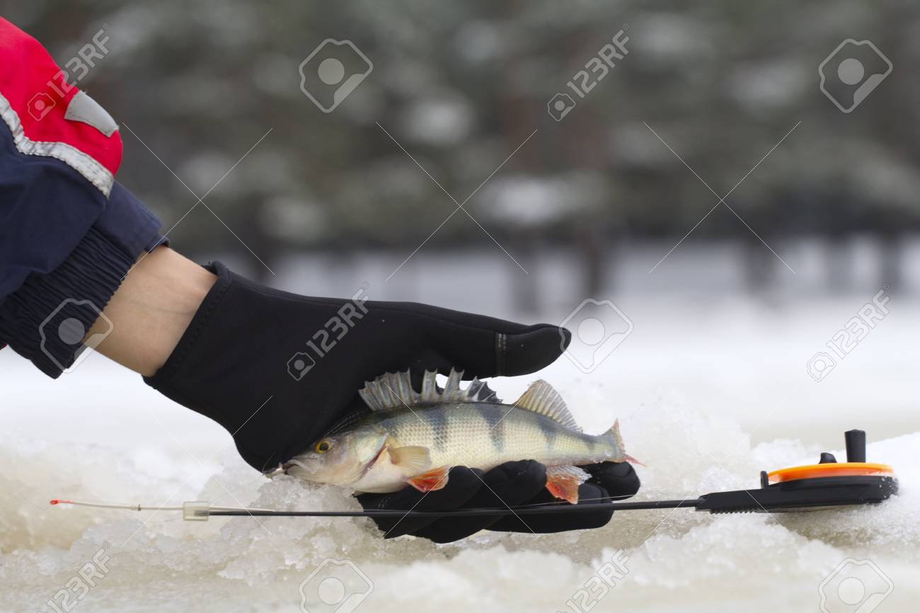 freshwater perch  on the ice fishing first in new year Stock Photo - 16855861