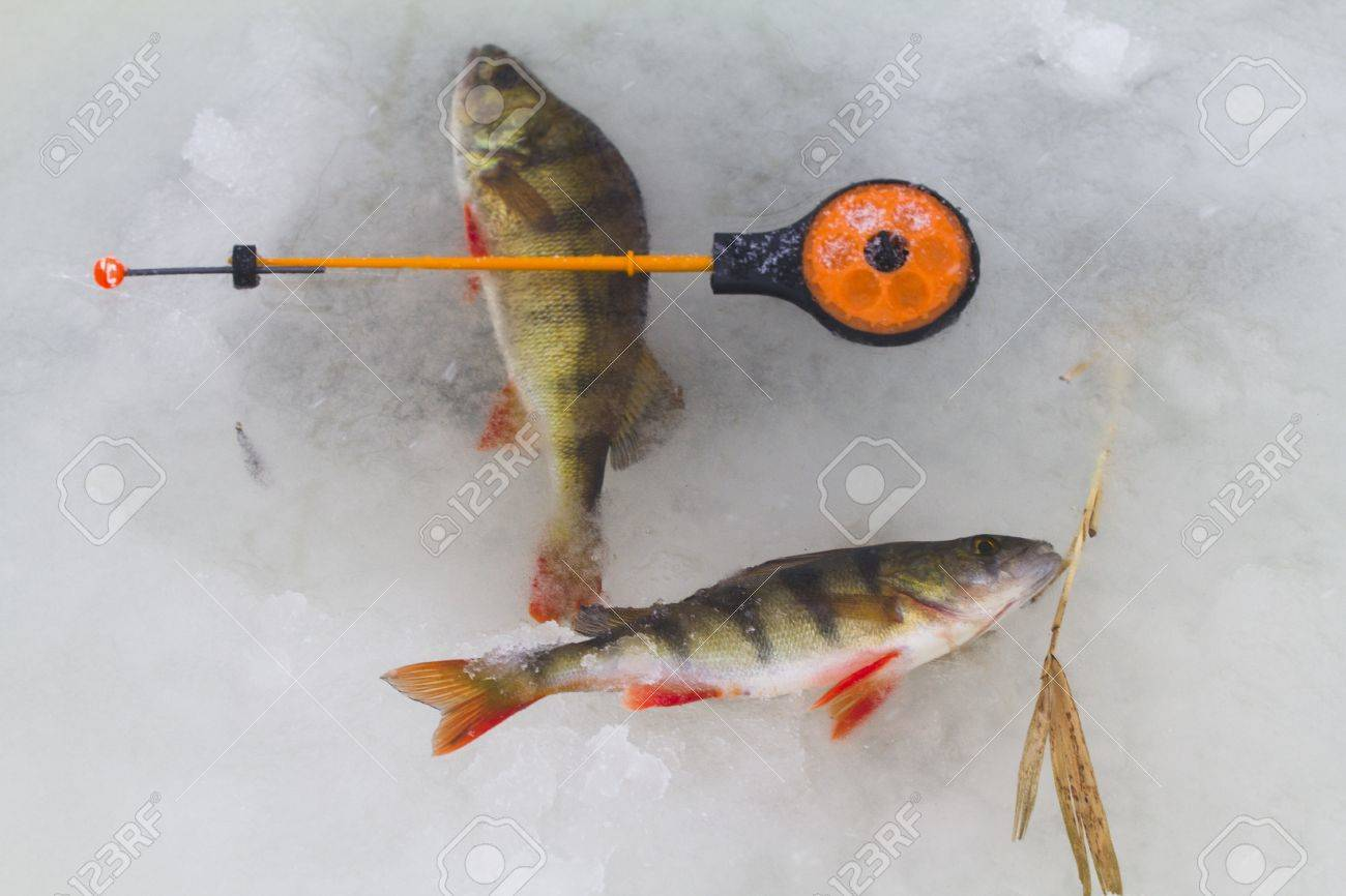 freshwater perch  on the ice fishing first in new year Stock Photo - 16855862