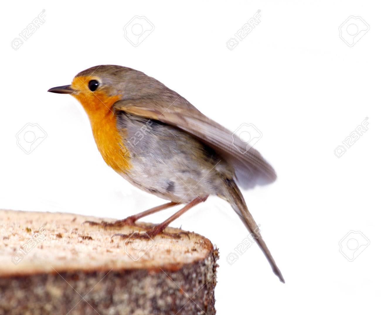 robin (Erithacus rubecola) close up - 25709549