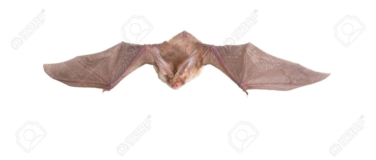 bat close up on a white background - 30467445