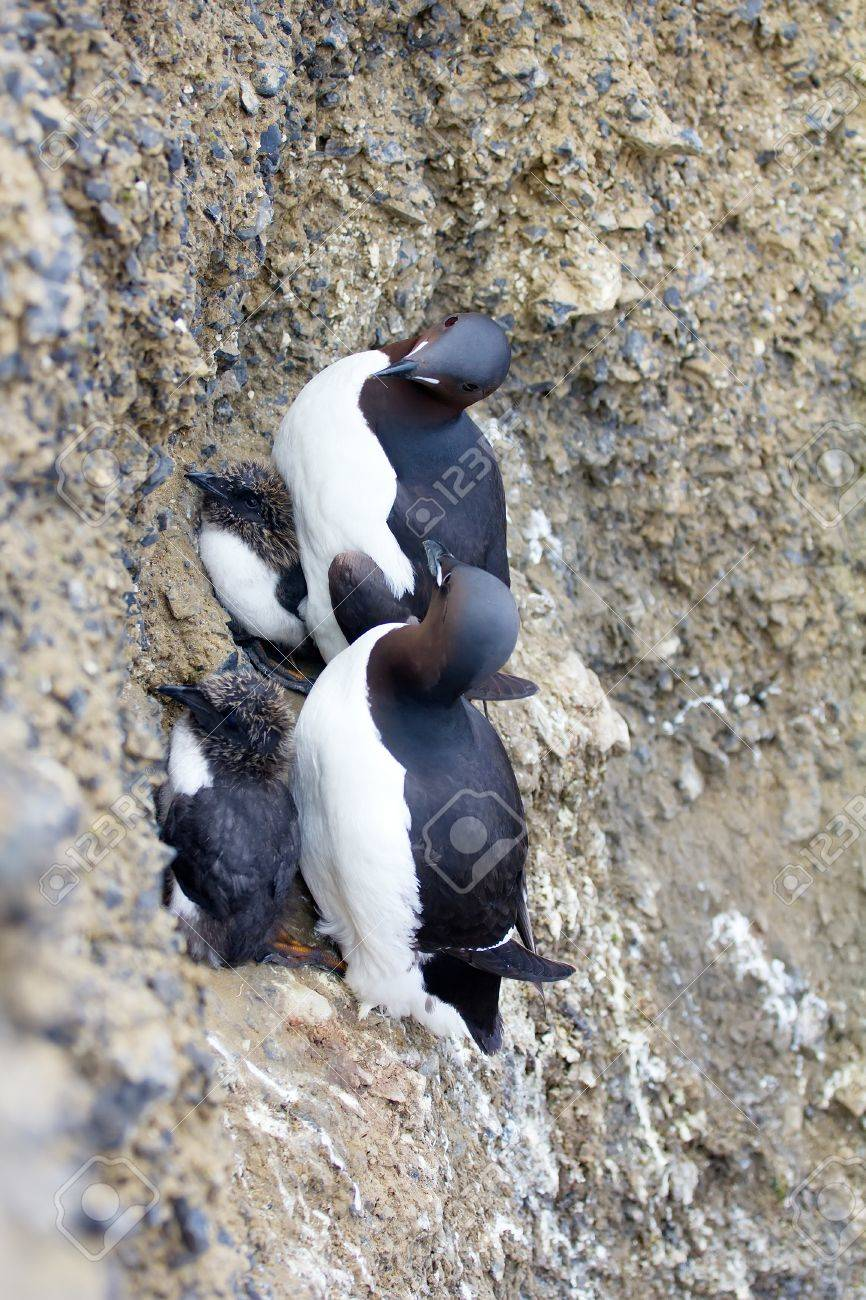 two thick-billed murres with big chicks under belly clung to.. stock