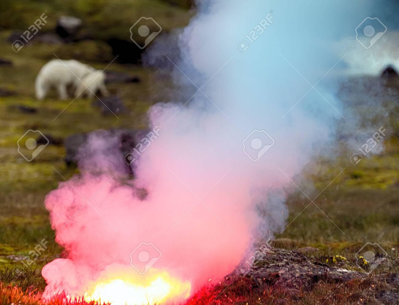 Polar bear (ice bear, Ursus maritimus) attacked photographer