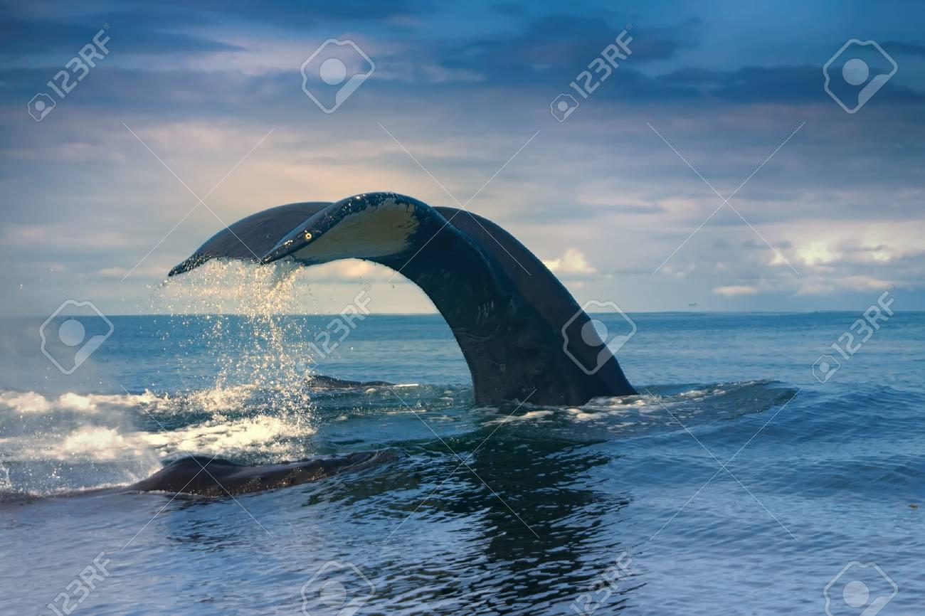 huge Hump-backed whale (Megaptera novaeangliae) tail i - 81287212
