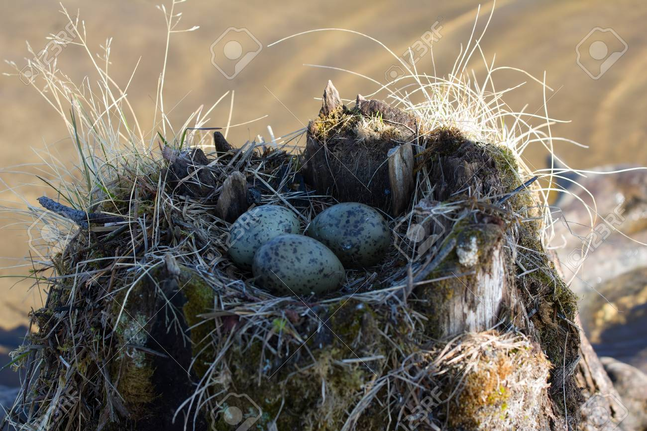 Field guide to bird nests and eggs of alaska's coastal tundra.