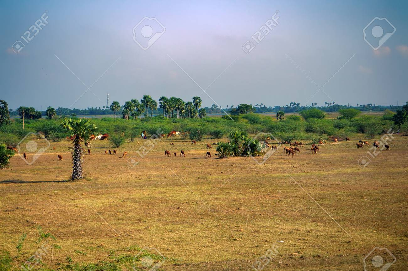 Cattle and sheep breeding in India. Land affected by overgrazing (overexploitation), pasture degradation, impoverishment of soil, environmental degradation, landscape degradation, loss of biodiversity - 93191296