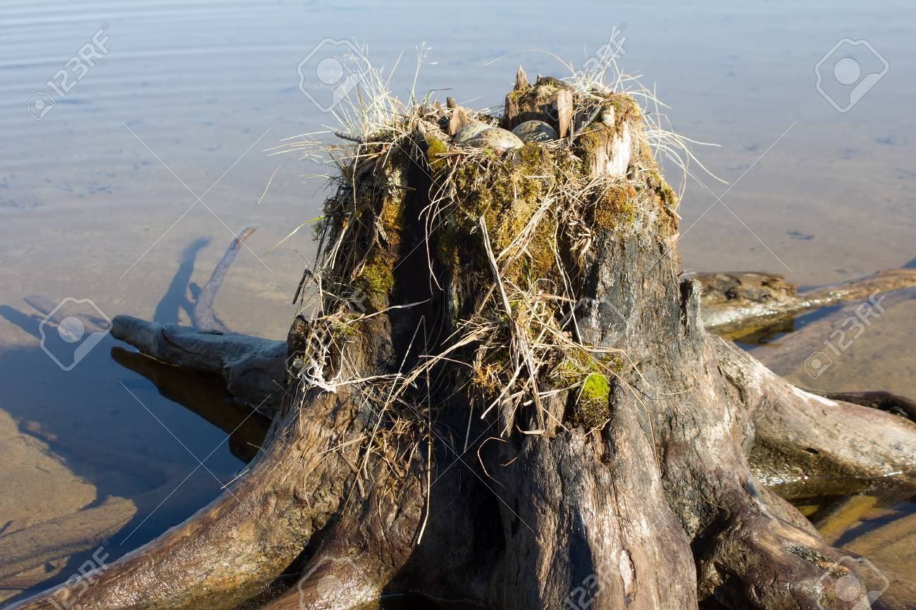 Guide bird nest for birdwatchers. Unusual way of nesting. Common.
