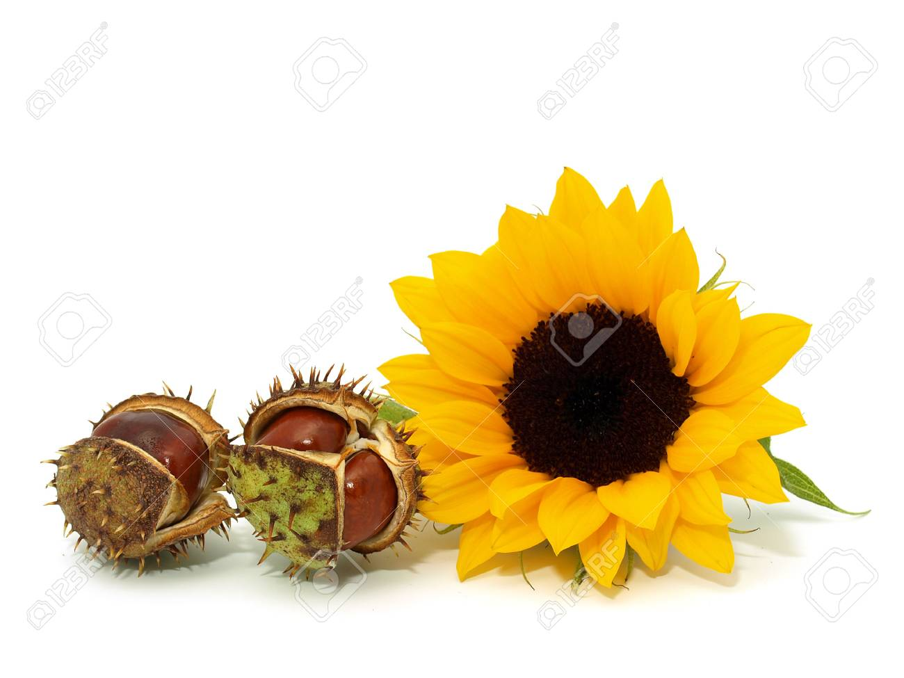 Sunflower with chestnuts on the white background Stock Photo - 7593157