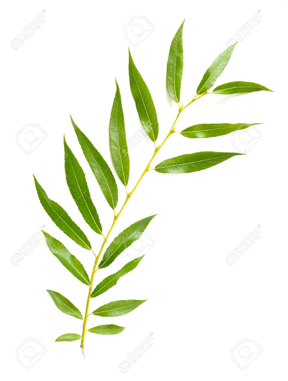 A Tender Green Weeping Willow Leaf On White Background Stock Photo Picture And Royalty Free Image Image 20954201,Best Cheap Champagne For Wedding Toast