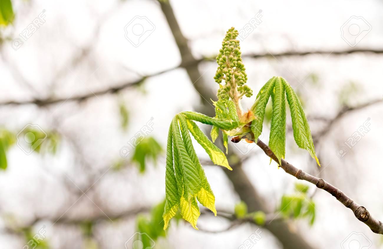 Castaño indias blancas de en hojas