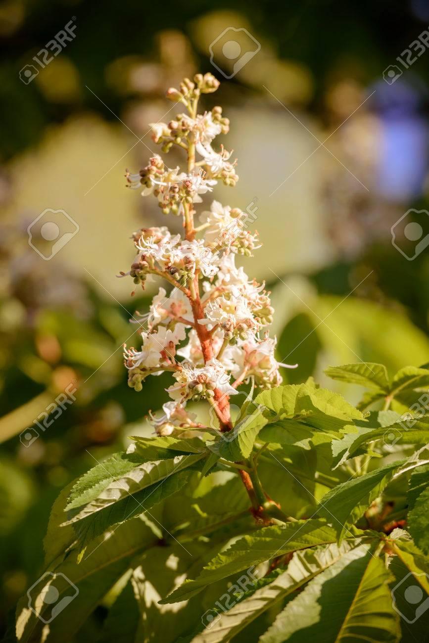 Fleur De Chataignier