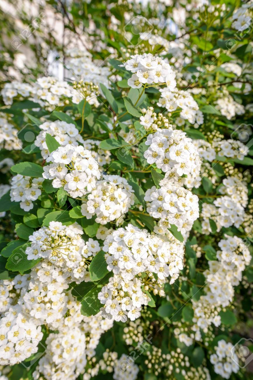 Close Up Of A Spiraea Bush Showing The Details Of The Soft White