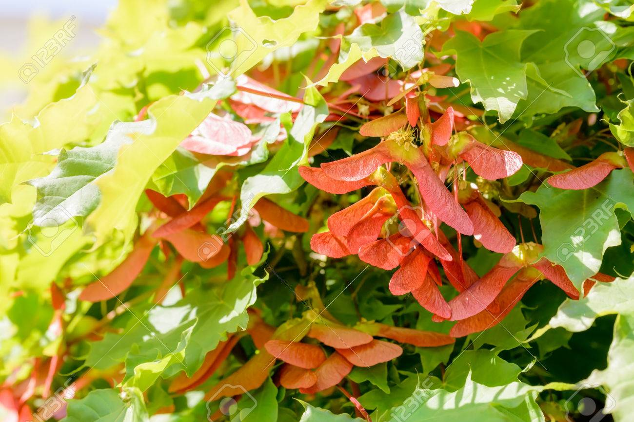 Close Up Detail Of Maple Tree Acer Circinatum Red Samara On