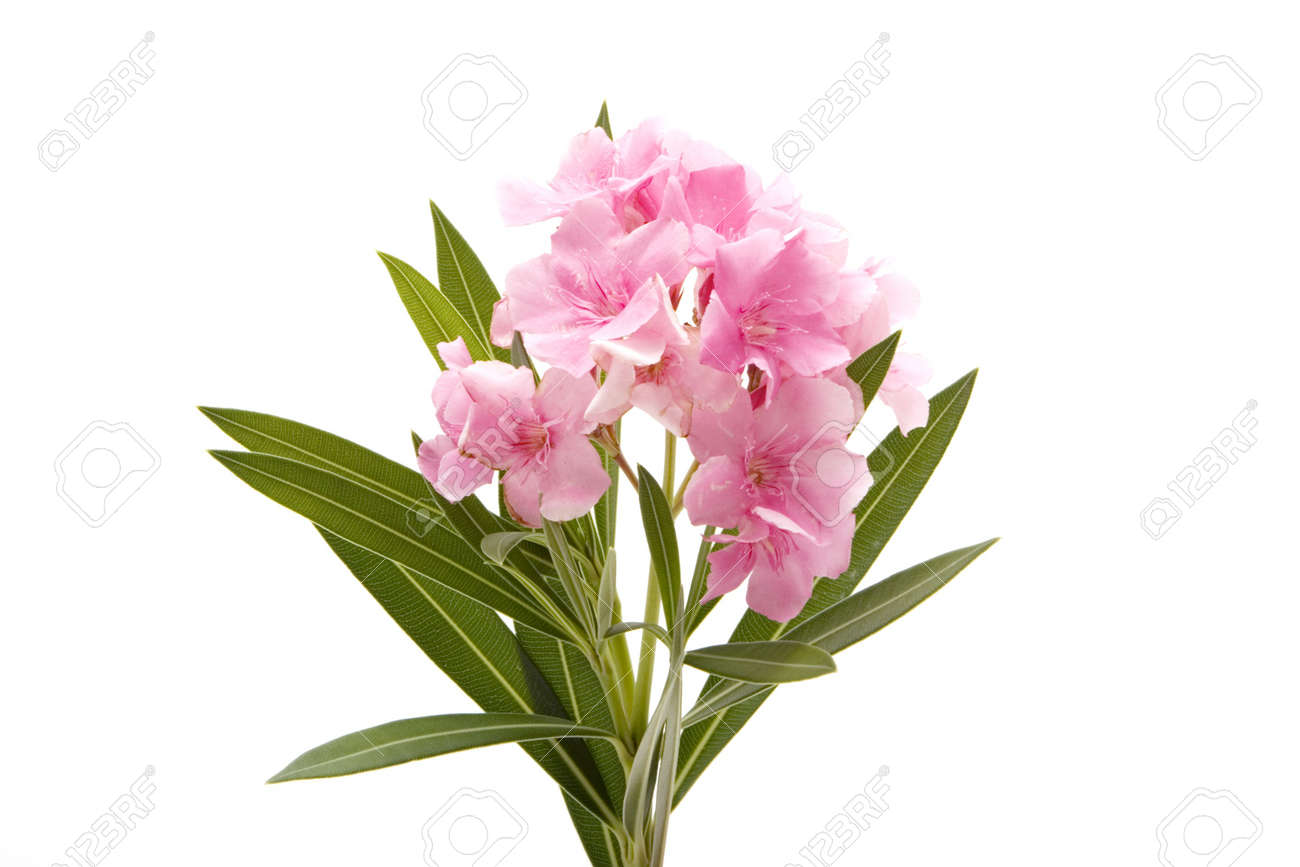 Pink Oleander Flower On Isolated White Background Stock Photo
