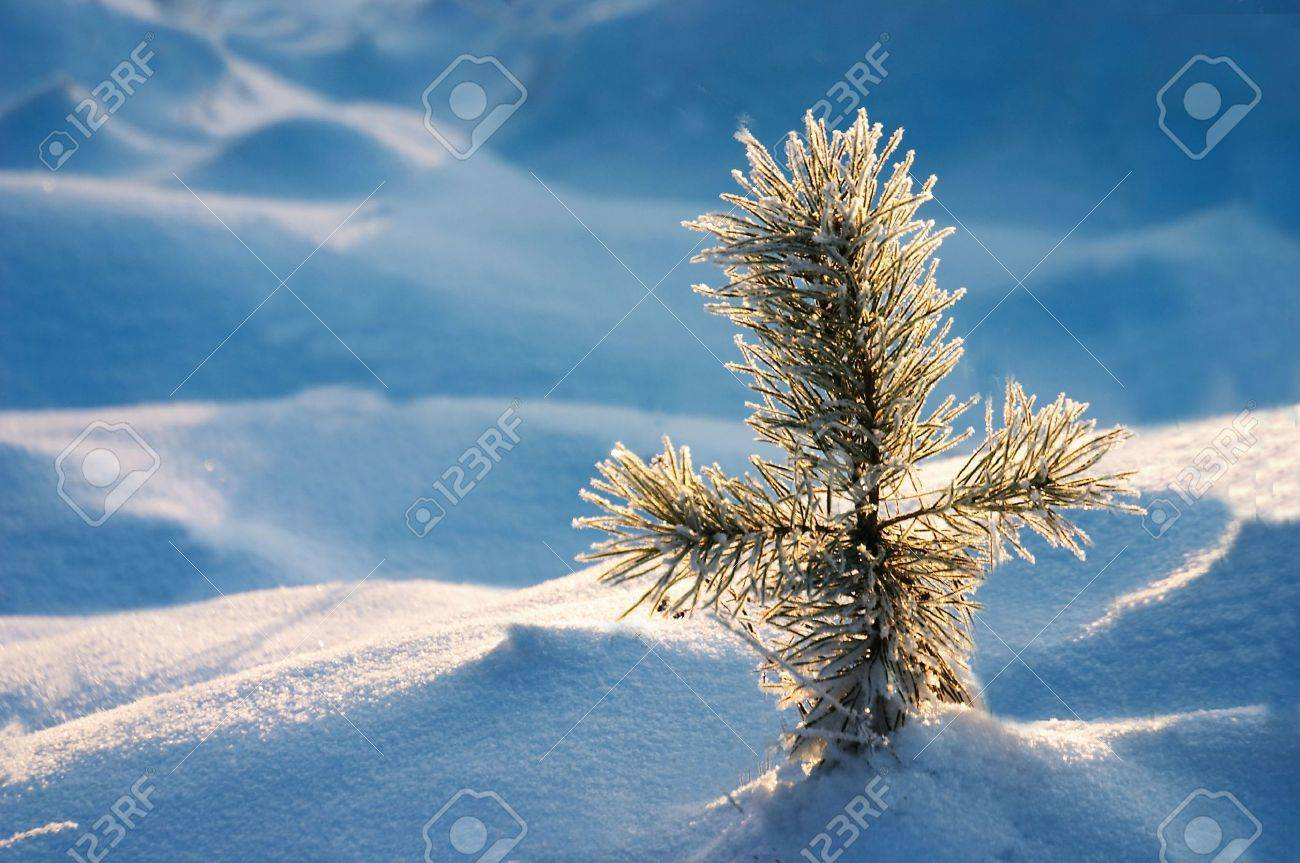little pine in snow hill Stock Photo - 301750