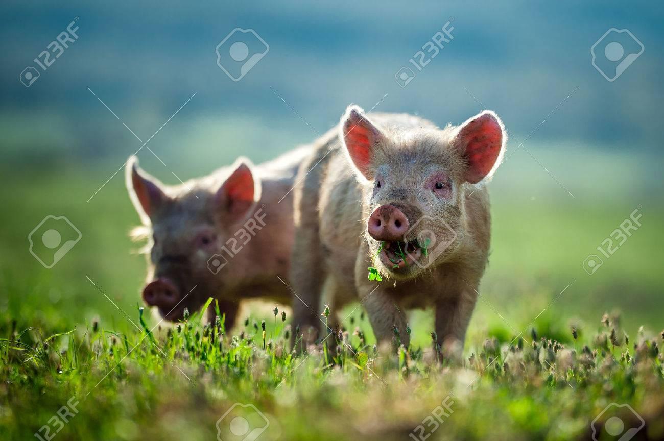 Happy piglets eat grass - 36920933