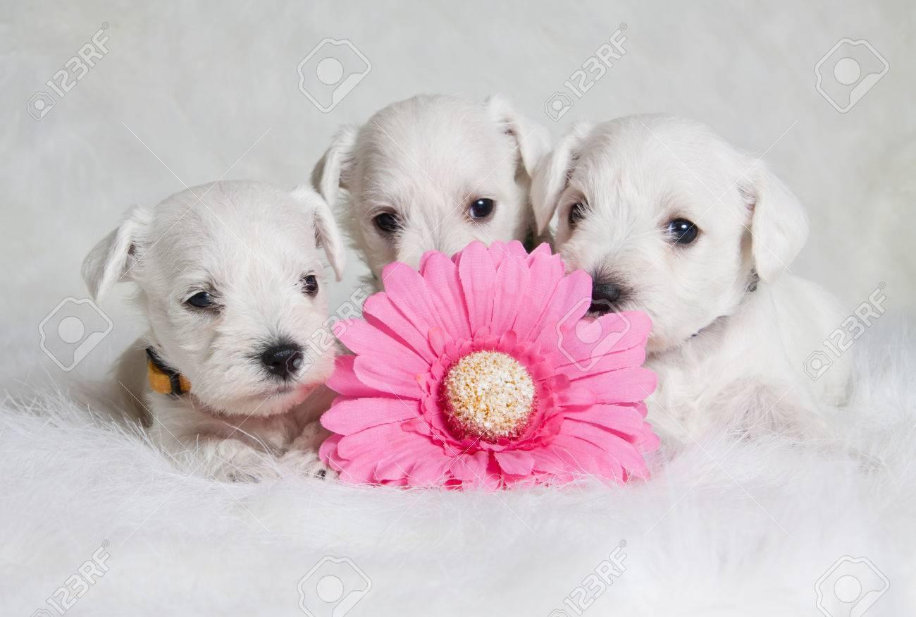 magnifiques chiots blancs avec fleur rose banque d'images et