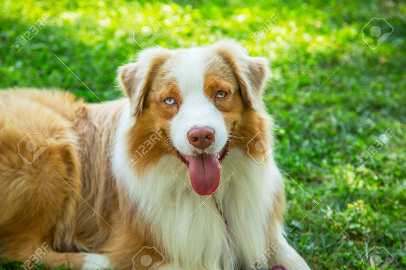 Adorable Red Merle Blue Eyes Aussie Australian Shepherd Puppy Stock Photo Picture And Royalty Free Image Image 127982212