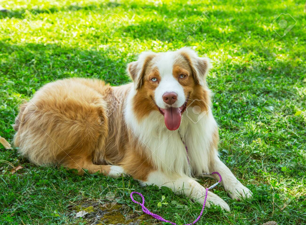 Adorable Red Merle Blue Eyes Aussie Australian Shepherd Puppy Stock Photo Picture And Royalty Free Image Image 127982220