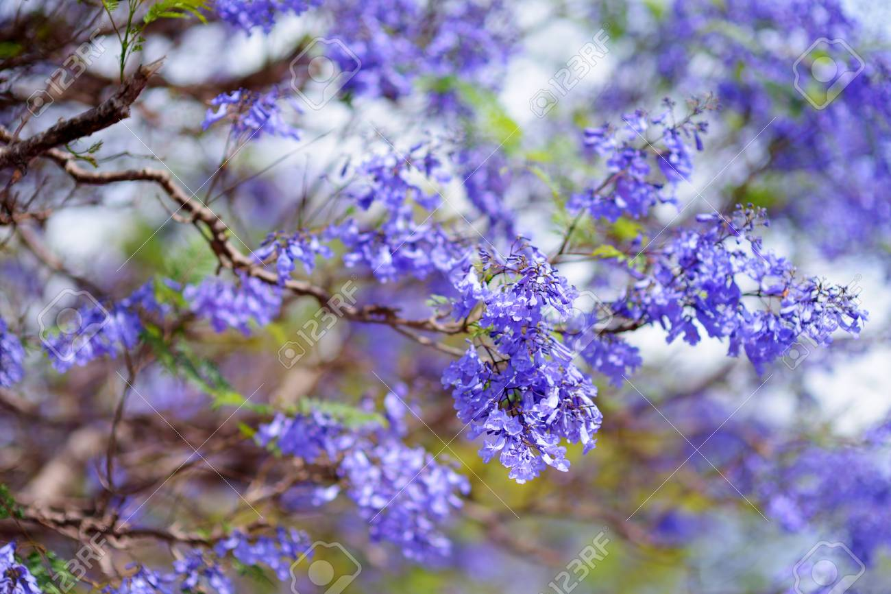 Close Up Of Beautiful Purple Jacaranda Trees Flowering Along Stock Photo Picture And Royalty Free Image Image
