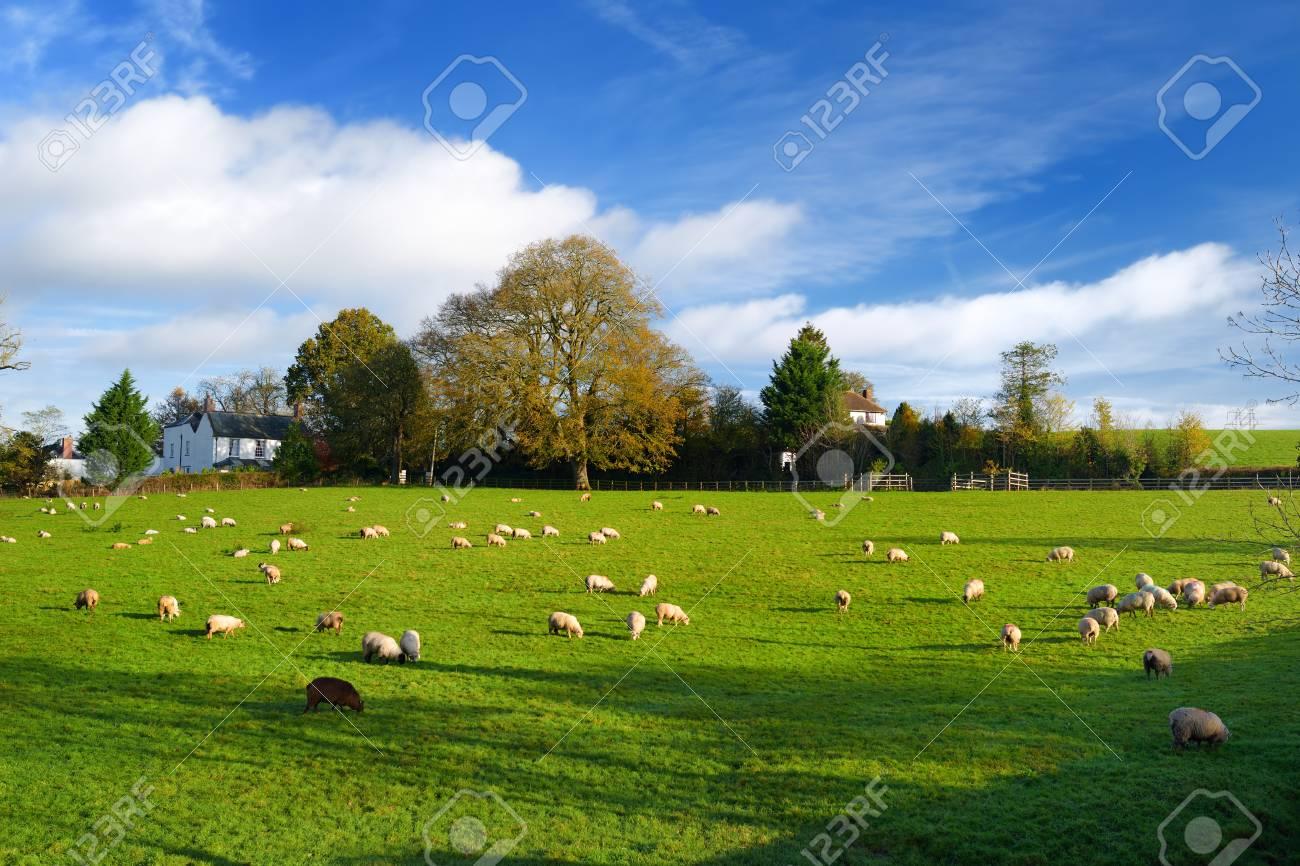 Sheep grazing on scenic Cornish fields under cloudy sky, Cornwall, England, UK - 91342730