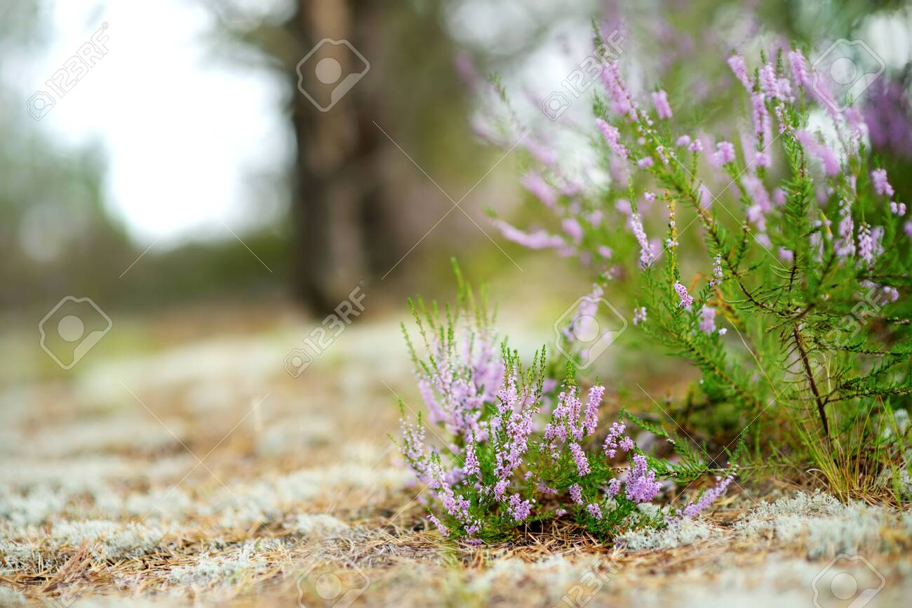Detail of a flowering heather plant in Lithuanian landscape. Beautiful outdoor scenery. - 126583623
