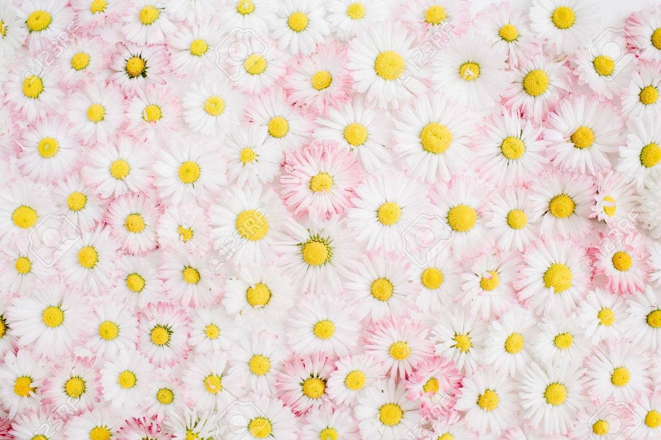 Floral Pattern Made Of White And Pink Chamomile Daisy Flowers