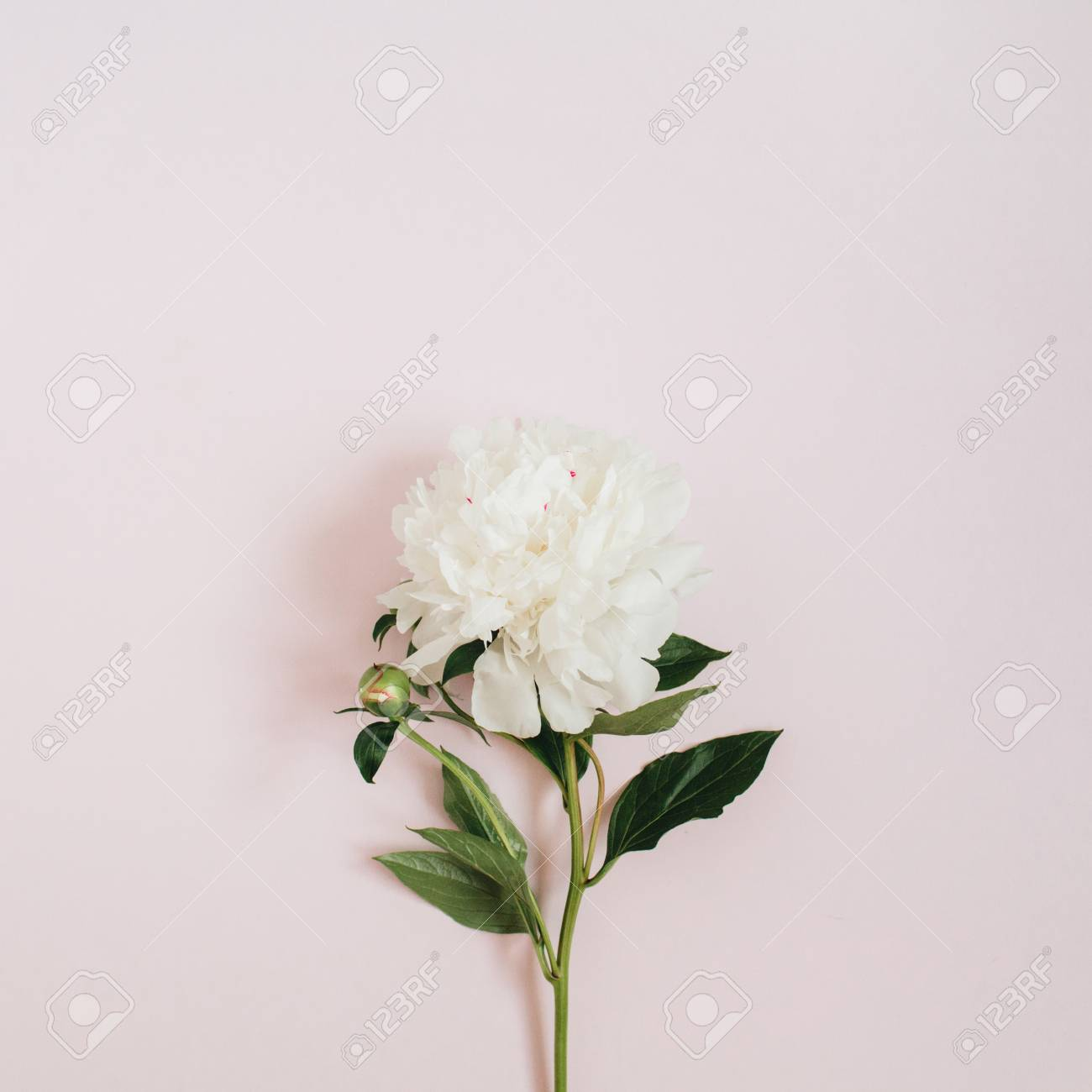 Beautiful white peony flower on pink background flat lay top beautiful white peony flower on pink background flat lay top view stock photo mightylinksfo