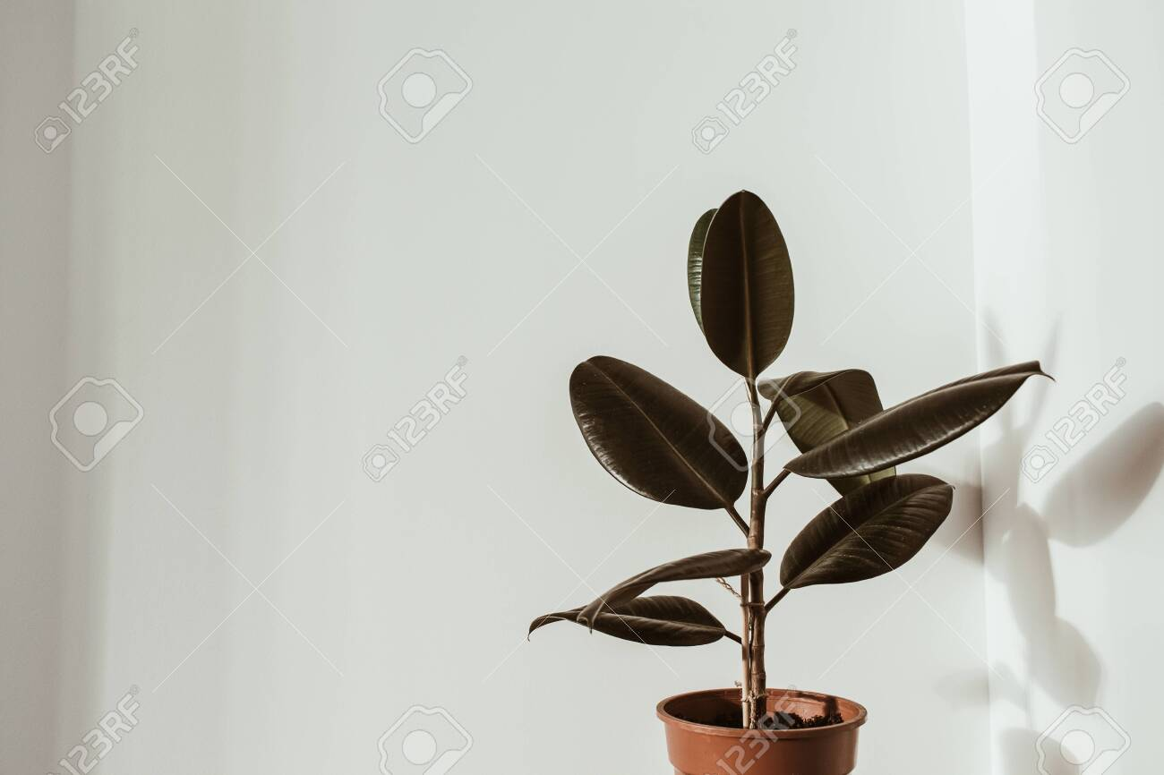 Closeup Of Rubber Plant Ficus In Flower Pot On White Background Stock Photo Picture And Royalty Free Image Image 144340781