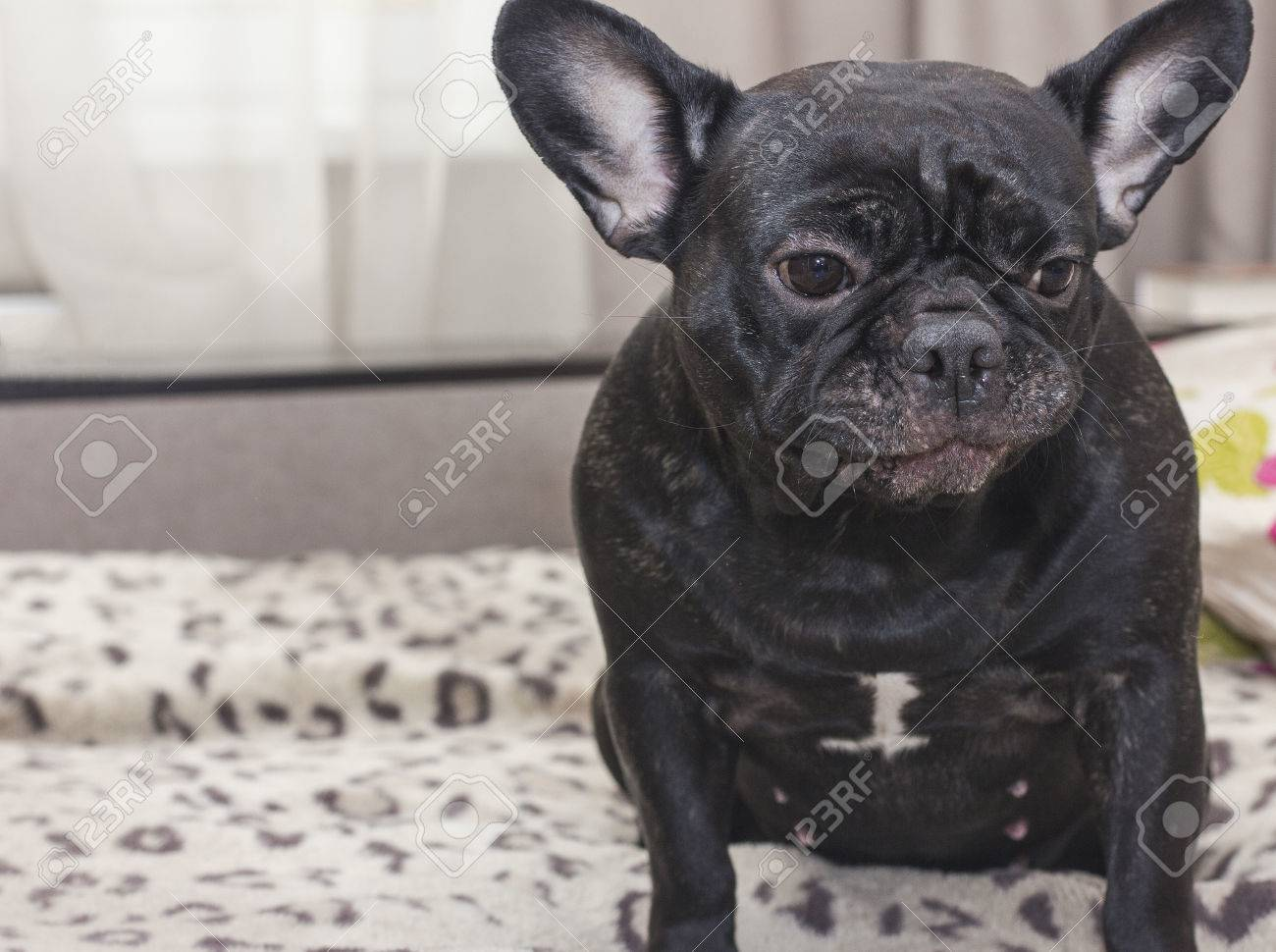Black french bulldog dog sitting on the sofa looking sad. In the apartment - 74919113