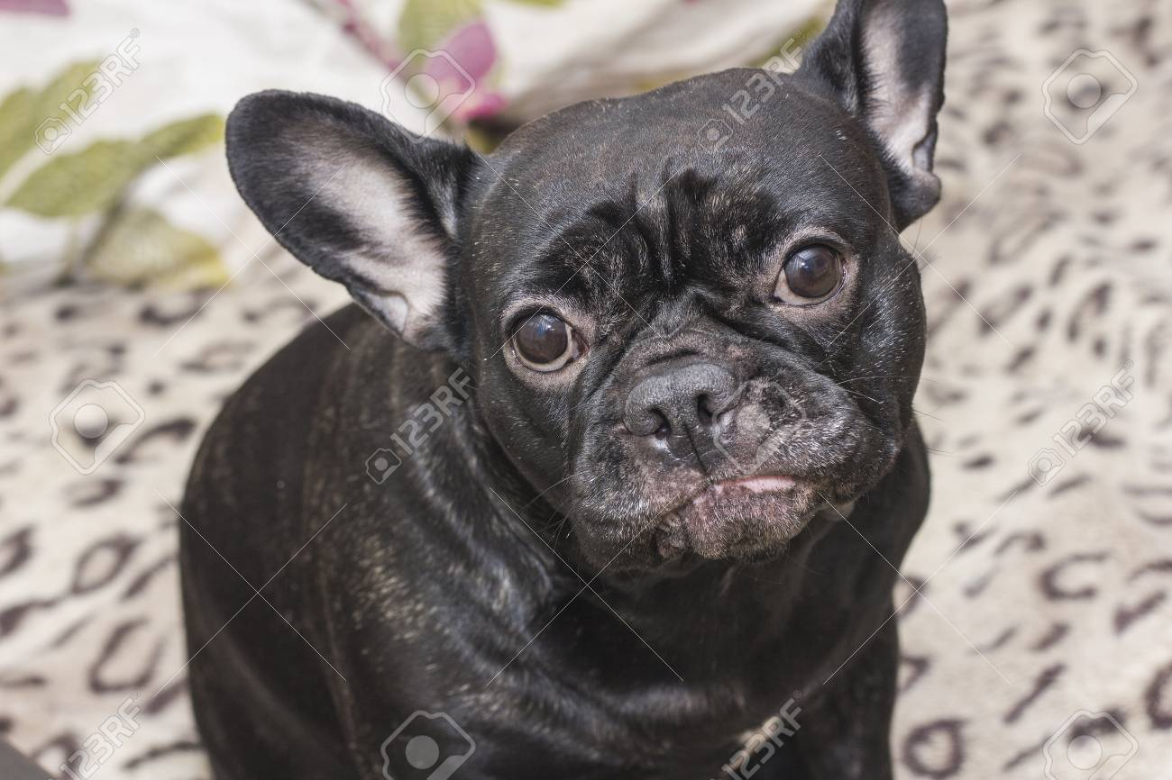 Black french bulldog dog sitting on the sofa looking sad. In the apartment - 74919108