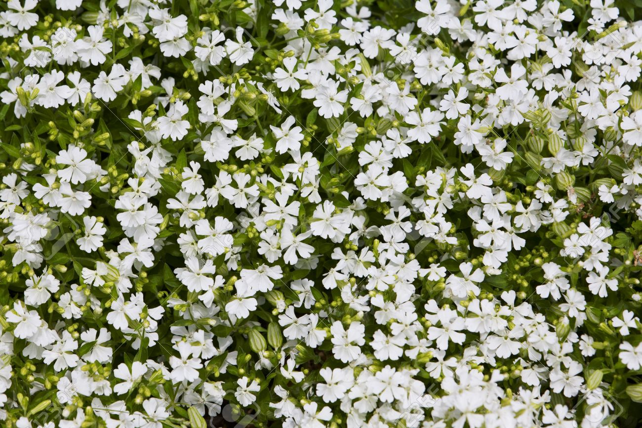 Natural herbal background small white flowers on green lawn stock natural herbal background small white flowers on green lawn stock photo 19911424 izmirmasajfo Images