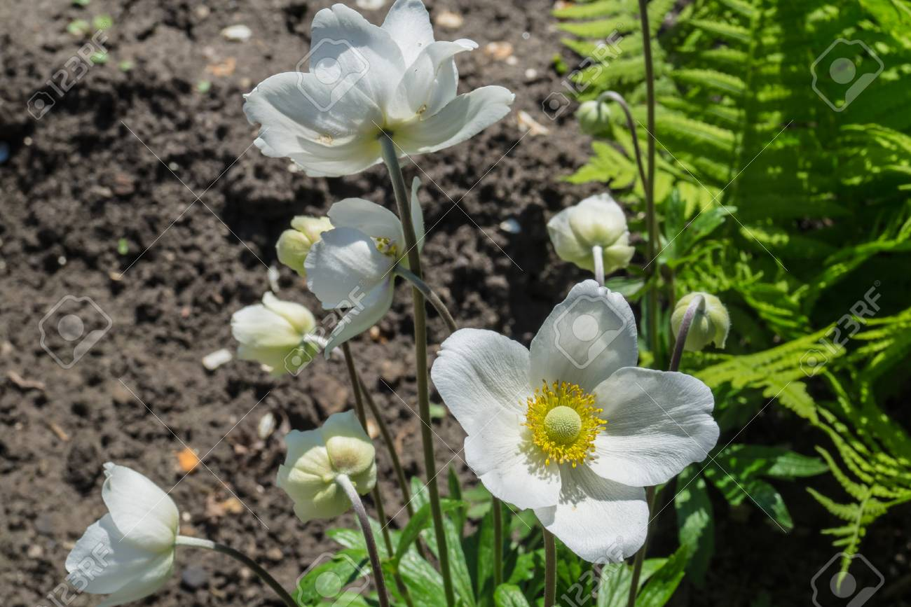 Anemone Flower Blossomed In The Garden Close Up Stock Photo Picture
