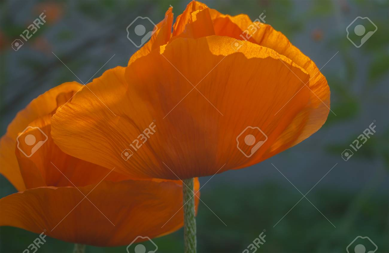 Flowers of bright colors poppies in the garden stock photo picture flowers of bright colors poppies in the garden stock photo 59764432 mightylinksfo