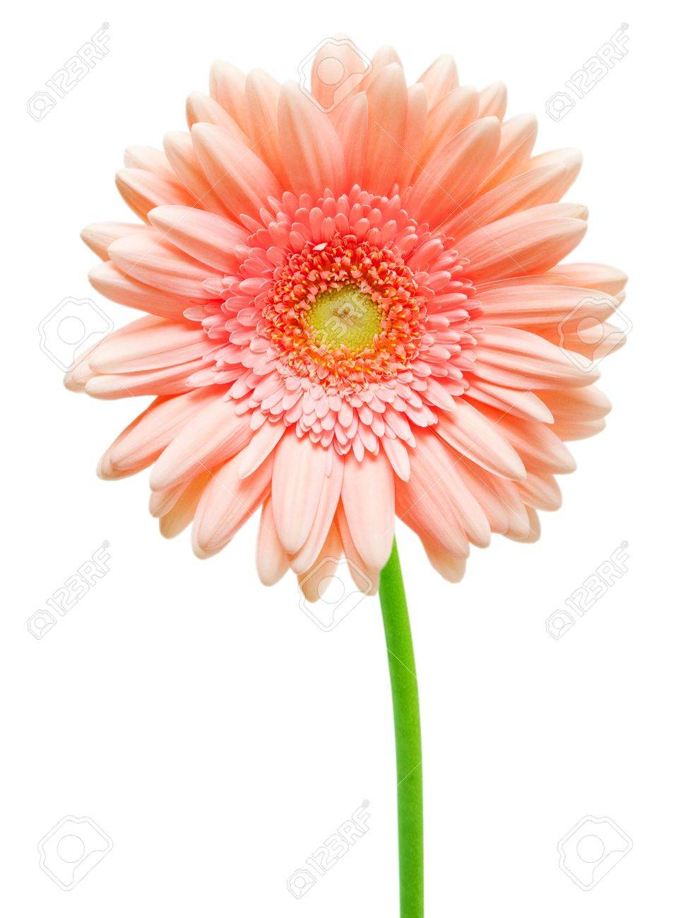 gerber flower isolated on white background Stock Photo - 10653759